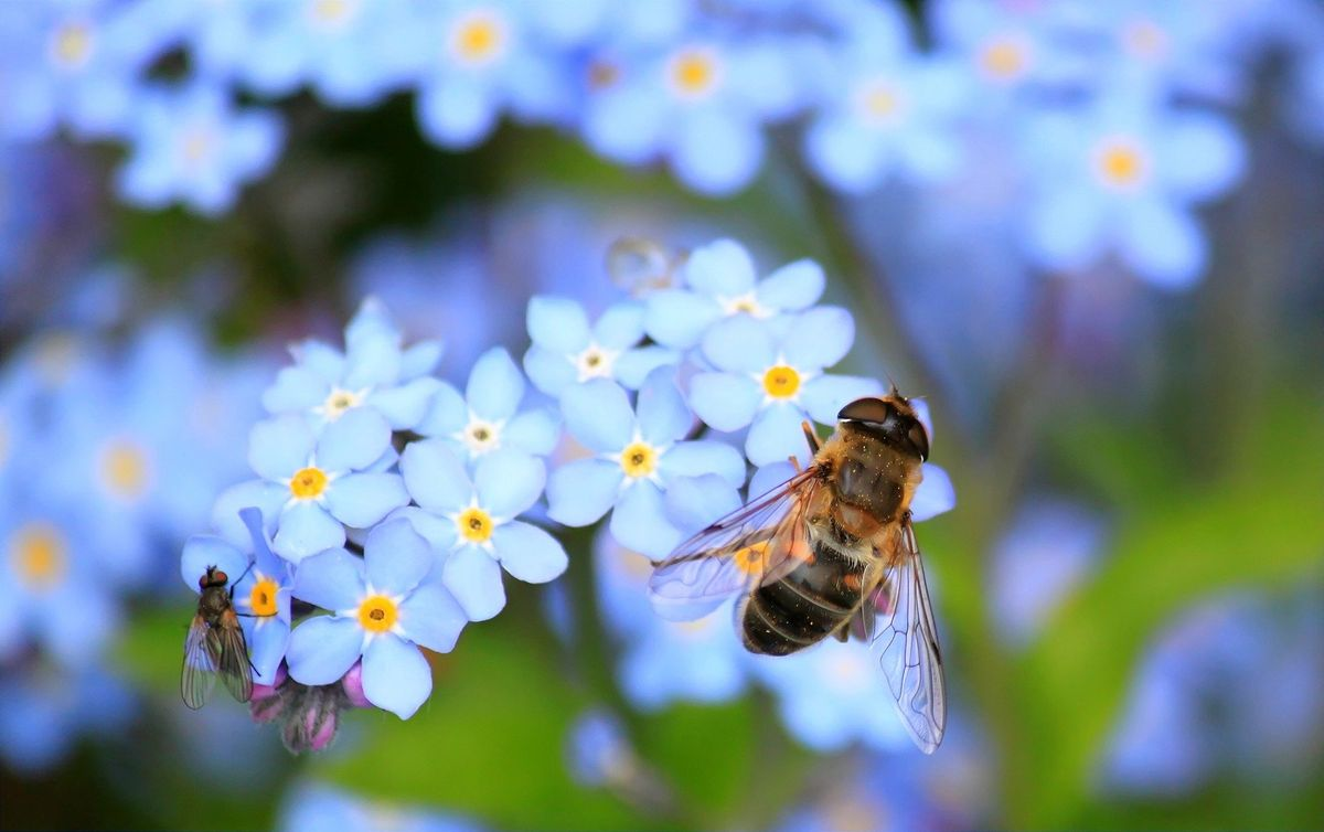 forget-me-not-257176_1920